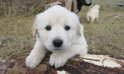 Our beautiful Serra (Siberian Husky cross) had 6 healthy puppies, born October 2, 2011....3 males, 3 females...they are now 7 weeks old, very cute, very healthy and ready for new loving families.  Their dad is a Golden Retiever.  We are keeping two, so