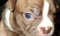 Call Us 519-915-4602...  Tiny Boston Terrier pups ready for rehoming Nov 15, 2011.    They will have 1st shots, deworming, health Certificate from Vet. Very beautiful markings. Parents on site. Males & Females. Gorgeous Lil Corkscrew Natural tails!!