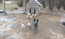 red heeler puppies for sale, 8 weeks old, $100 contact dave @ 248-3727