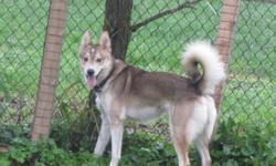 Young around 1.5 year old male red husky mix. He is very playful and loves people. Good with other dogs, not fix. He was save from high kill shelter where he was dumped by his owner.   This lovely boy is looking for a loving forever home. Adoption fee