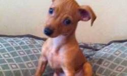 """14 week old ADORABLE red female min pin for sale She has had all of her second shots, dewormed, defleated, kennel cough - perfectly healthy She is potty trained already! She always wants to snuggle and cuddle up to you, and already knows """"sit,"""" """"lay"""