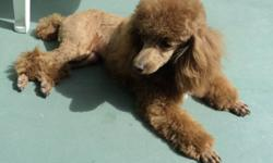3 reds males tiny toy poodles. All puppies their come with vet check and first needle, dewormed, dew claws, tail done and registered to CKC. The mother 5 1/2 lbs. and father 4 lbs. He is with cookies jar on picture. The price is $1300. $1400. $1500. The