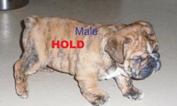 """Rare, Reg. English/British Style Bulldog pups                Solid brindle little white male pup               1- Solid Dark Red/Brindle Female                   Dam is a """"Rare"""" Red Sable Female.               Upcoming 2012 Breedings include          The"""