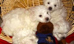 Registered litter of non shedding, hypoallergenic quiet, loving pups ready to go on Oct 27