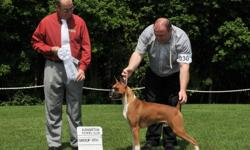 We are CKC registered breeders. Health tested Sire and Dam HEALTH GUARANTEE for 2yrs. Champion Lines Docked tails, dews removed Vet checked with first shots and Ckc issued Microchips More info at rubyredboxers.com Both Show and Companions available