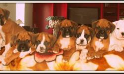 LISIANTHUS EURO BOXERS  Top quality American/European Boxer puppies available to loving families. We are super pleased with our puppies development. They have out going personalities always exploring and willing to learn.   We have spent countless hours