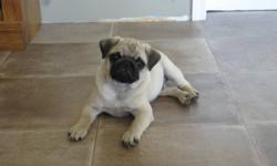 Registered CKC Male Pug for sale.  He is 7 months old, fawn / apricot color.  He has beatiful markings, and has not been neutered for being a potential stud.  He is a big boy, and loves to play with anyone.  He would be a wonderful Christmas surprise for