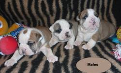 Reg. English/British Style Bulldog pups                1- Solid Dark Red/Brindle Female                    Upcoming 2012 Breedings include          The Rare Black Tri to Black Tri breeding.       TO NON-BREEDING FOREVER PET HOMES ONLY.       Come with