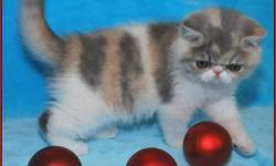 REGISTERED BLUE PATCHED TABBY & WHITE - EXOTIC SH (SHORT HAIRED PERSIAN) - FEMALE - KITTEN AVAILABLE.     EXOTICS HAVE THE SAME SWEET TEMPERAMENT AS THEIR PERSIAN COUSIN.  THESE FUN LOVING CATS MAKE A GREAT FAMILY ADDITION.    THIS GIRL HAS A WONDERFUL