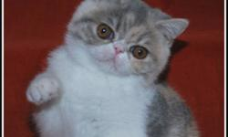 REGISTERED BLUE PATCHED SPOTTED TABBY & WHITE - EXOTIC SH (SHORT HAIRED PERSIAN) - FEMALE - KITTEN AVAILABLE.  EXOTICS HAVE THE SAME SWEET TEMPERAMENT AS THEIR PERSIAN COUSIN. THESE FUN LOVING CATS MAKE A GREAT FAMILY ADDITION. THIS GIRL HAS A WONDERFUL