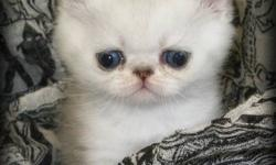Exotic Gems Cattery has available super sweet and adorable shaded silver and shaded golden exotic kittens!   Each kitten has had their first vet check up, vaccination and has been dewormed with revolution. They are CFA registered and will leave here with