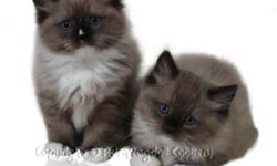 Just in time for Christmas: Aden Ragdoll Cattery offering a Christmas discount on all kittens from Nov 06, 2011 through Dec 15, 2011. For first time buyers: $100.00 off any kitten of choice. For repeat buyers: $200.00 off any kitten of choice.   We have