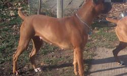 Rens Boxers Welcome to Rens Boxers, a small family run kennel. Our boxer puppies are raised in my home. They are handled from birth to give them the best possible chance of staying in their forever home. All my females have been or will be tested for