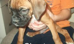 Rens Boxers Welcome to Rens Boxers. Puppies are going fast, only 6 left..1st pic is of male and last pic is male every thing in between is female.. If their pic is still up then that pup is still available Our boxer puppies are raised  in my home. They