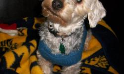 We have a male yorkie mix for adoption. He has been neutered, is up to date on vaccinations, and ready to go to his new forever home. He is about 1 year old and gets along with other dogs and kids. He is a little shy at first but warms up quickly. If you