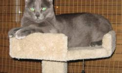 Edit: Alu has now found a new home. A friendly and affectionate indoor male 17 month old Russian Blue cat, named Alu, free to a good home.  He is a nice cat, but I can no longer keep him.  He is healthy, had his vaccine boosters less than a month ago, so