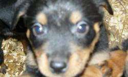 ***PLEASE CALL US !! ONE FEMALE LEFT -- $300 O.B.O. **** Adorable female rottweiler pup -vet checked, first shot, dewclaws and tail docked, dewormed.  -Raised on our family farm with mother on site, -very sociable and great with kids.  Both parents have
