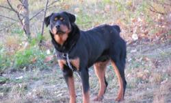 We have a very healthy and active 1 year old Rotty, his name is Boots.He needs a place where he can get more excersize, we do not have a fenced yard so he has to be on a running line. For more info please call 780-967-4698  or e-mail us..  Thank you.