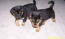 Puppies are 3/4 Rottie, 1/4 German Shepherd. Were vaccinated and de wormed on Dec 2. Only 2 girls left!