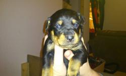 Rotti Puppies..   Ready to go to the right family last week of Jan. or the first week of Feb 2012. There are 6 male and 3 females. Mom is a Beautiful natured dog, great with kids, well behaved, with great features and colours. The pups will have docked
