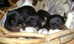 Rottweiler puppies ready to go to new homes in the middle of November. They have had their tails docked and dewclaws removed. Puppies come with a vet check, 1st shots, health guarantee and will be dewormed twice. 3 girls left to choose from. We have both