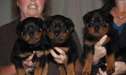 Beautiful rottweiler puppies, 3 males left.  Born Sept 13th, ready for viewing.  Both parents have great temperment and excellent health, pups are raised inside our family home.  Pups will be ready to go first week of November with health check, first