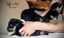 My friend george and i have rottweiler puppies for sale. Origionally there were 6. There are now 4 left. Both males and females available.. Parents are on location. please contact for more information and for prices. these pups are american rottweiler and