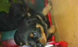 Pure Bred Rottweiler Puppies, German Lines. All Shots and Tales Cropped Beautiful puppies no Imperfections. These dogs are cute and perfect looking.Contact 604-815-1758