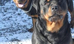SHOW WITH CONFIDENCE!   Pure German Rottweiler Puppies for sale $700.00. Mom and Dad on site both pure German Rottweilers. No history of hip displaysia or any other medical problems.  They are good tempered and have always been around small children. All