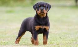 Hello! My fiance and I are currently looking for purebred rottweiler breeders expecting a litter that will be ready to go to homes in April of 2012. We are looking to purchase a male who will have the potential to be BIG. Overall, we would like the