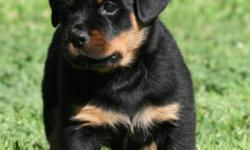 Hello! My fiance and I are currently looking for purebred rottweiler breeders expecting a litter that will be ready to go to homes in February of 2012. We are looking to purchase a male who will have the potential to be BIG. Overall, we would like the