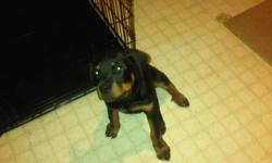 I have a Rottweiler puppy for sale. He is very friendly and lovable. I am asking $300.00 for him, if interested please call me at call 226-626-5338 ask for Dalton or Emily. Moving into a apartment and unable to take him with us looking for a good home for