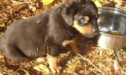 Romans are the largest rottweilers, Germans are the smartest, a match that produces fantastics pups .4 boys 3 girls availble now. 1st set of shots, docked, de wormed, dew claws removed, all very big and healthy. Pups are in cherryville south of vernon.