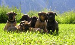 Beautiful Rottweiler X Puppies Ready To Go!!!!! $300.00 O.B.O. Vet Checked. 1st Shots and 2nd De-worming Done. These puppies are very beautiful, well mannered 2 boys (Duke and Black) and 1 female (Brittany) remaining to home which are family raised on