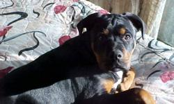 Rottwieller/ Mastiff/Boxer Cross Male Good Guard dog Good with Family. Telephone 1 250 459-7792