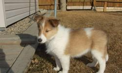 There are four purebred Rough Coated Collies not spoken for yet from this big litter. People who know the breed can tell you about the best trait to these dogs: their character. Their beautiful coat does need a weekly grooming job, which does not take