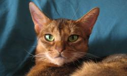 Beautiful ruddy Abyssinian girl looking for a quiet forever home.  Not great with other cats.  Adoption fee of $250 to cover spaying.  Stunning blue girl very sweet available to the right home.  Adoption fee $250.