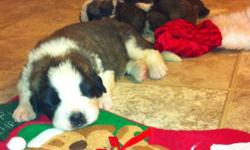 Don't be fooled by the other people on here selling Saints our pups are health Gauanteed both parents have had there hips certified and are on site for you to view. Buy from a breeder you can trust. Saint Bernard puppies for sale. Perfect Christmas gift!