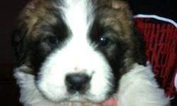 Werent expecting a litter of pups, they are 5 weeks old, eating on their own. Very big and healthy, we are not set up to keep them anylonger, you will never get a better deal on these sweet saints. Will not hold any, 6 females and 2 males to chose from,