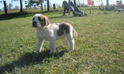 St bernard puppies, now ready to go. There are 6 puppies left of 10. 5 females and 1 male. They had their vet check and vaccinations today. They have great personalities and are raised with our children, small dogs (chihuahuas) as well as various types of
