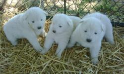 SWEET ADORABLE SNOWBALLS These sweet little balls of fun are perfect to invite into your family to start the New Year.This is a very loving , loyal and gentle breed  they are great with children and other pets . These  puppies have be farm raised and