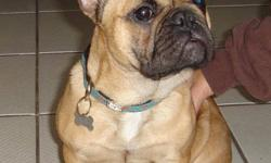 Beautiful Red Fawn,  Frenchie! She is 6mos old and our pick of the litter! She comes from a healthy pedigree! Her Mom , who we own,is a full cream and comes from Shark bloodlines and her Daddy is a well known famous Stud in Vancouver with Eiffel