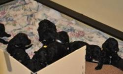 Our F1(FIrst Generation)  Giant Schnoodle puppies will be ready to go to their new homes on Jan. 8, 2012.   Mama is an AKC registered Giant Schnauzer and Papa is a CKC registered Standard Poodle.   The puppies are primarily black with white markings on