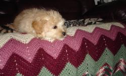"""9 month, puppy 4 sale       beautiful tan colored ,Schitzu bichon  well behaved,fully trained.has all shots up to date,heart worm med.neutered male.I can not take him with me,have to move.All supplies included.Approx.12""""at the hip He is about 13 lbs."""