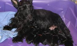 Mother is Scottish Terrier  & Father is Mini Schnauzer Schnottie Puppies Black male & female puppies. Pups are socialized with other animals and children. Come with 1st shots, vet check and health guarantee. We own both parents. prairieskyalberta.ca