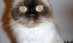 """Breed: Himalayan   Age: Senior   Sex: F   Size: M Please contact Cathy at Endless Tails Pet Nutrition (905) 290-0378 if interested in giving him a new home   or   href=""""http://www.actionvolunteersforanimals.com/avacatadoptionapplicationform""""> Click here"""