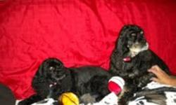 Breed: Cocker Spaniel   Age: Senior   Sex: F   Size: M THIS IS A COURESTY POST Bailey, a black & tan female American Cocker Spaniel was born September 2002. Zoey a black female American Cocker Spaniel was born the same year in early November. American