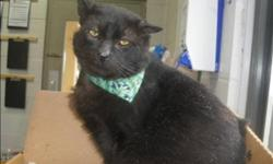 Breed: Domestic Short Hair   Age: Senior   Sex: M   Size: M Primary Color: Black Weight: 6.41 Age: 10yrs 3mths 1wks Animal has been Neutered   View this pet on Petfinder.com Contact: Surrey Branch BC SPCA   Surrey, BC