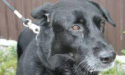 """Breed: Black Labrador Retriever   Age: Senior   Sex: M   Size: L Beckett is a 9 year old Black Lab Cross and is described by the Shelter staff as """"good about everything"""". He loves to be brushed and played with. He likes to walk and is good on leash. He"""