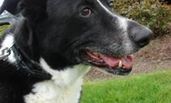 Breed: Border Collie Shepherd   Age: Senior   Sex: M   Size: L Joey is a 9 year old neutered Border Collie Cross. He was surrendered to a Fraser Valley vet clinic and landed himself here at Dhana Metta. He has met all the large dogs here, and was